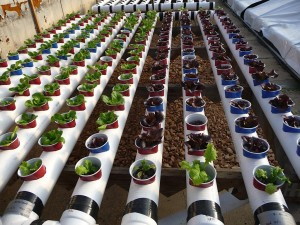 Young Lettuce Plants In Our Modular System